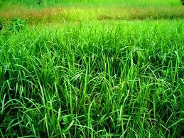 rumput-ilalang